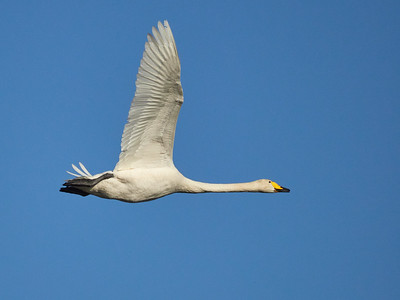 White and Blue. Whooper Swan