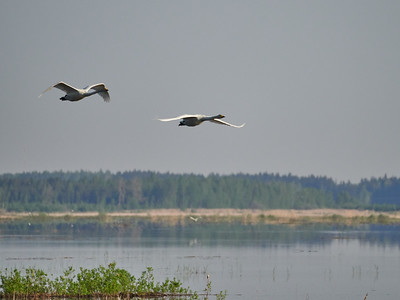 Whooper Swan Morning Flight