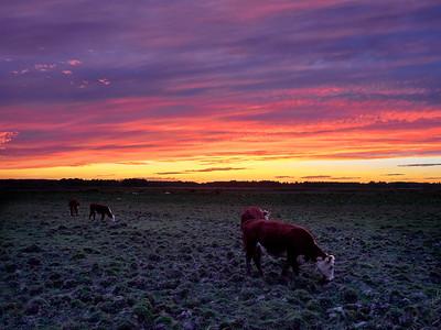 Heifer sunset
