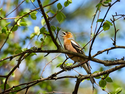Shout it out loud. Common chaffinch