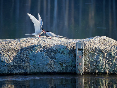 Something just for you my darling. Arctic tern
