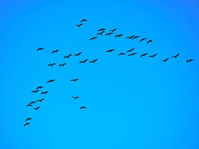 Eurasian Cranes