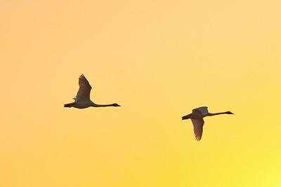 Whooper Swan Pop colors