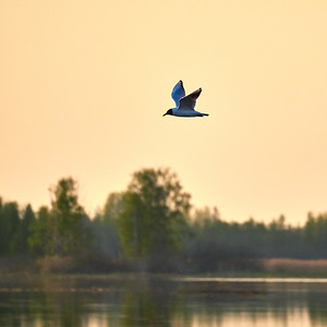 Black-headed gull evening flight