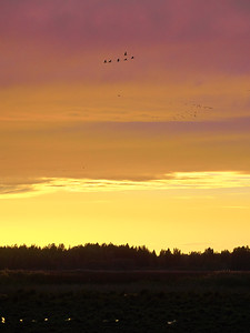 Crane migration sunset