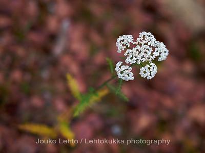 Siankärsämö  (Achillea millefolium) - Yarrow