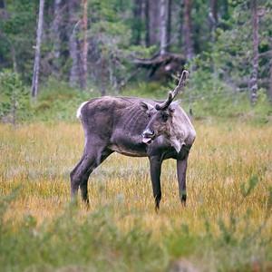 Wild Finnish forest reindeer 26