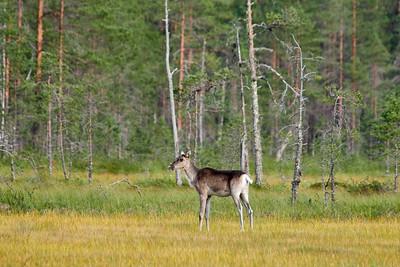 Wild Finnish forest reindeer 2