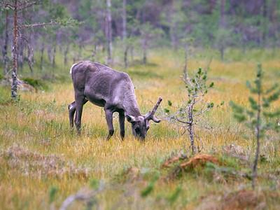 Wild Finnish forest reindeer 13
