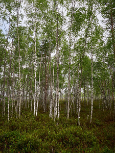 Birches by te lake
