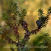 Variksenmarja (Empetrum nigrum) - Crowberry