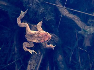 European toad