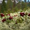 Puolukka (Vaccinium vitis-idaea) - Lingonberry
