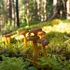 Suppilovahvero (Cantharellus tubaeformis) - Yellowfoot