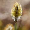 Hares tail cottongrass