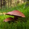 Sieni - Mushroom