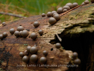 Metsän mustat helmet - Black pearls of forest