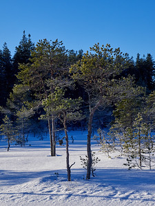 Small Pines in snow