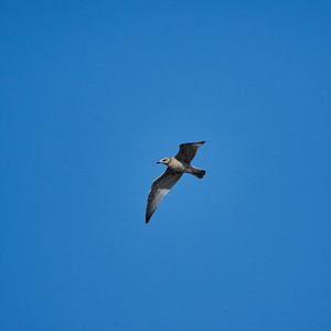 Common gull