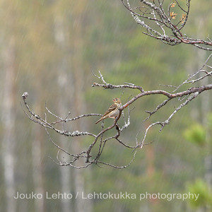 Niittykirvinen (Anthus pratensis) - Meadow Pipit