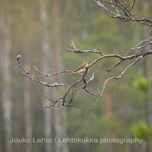 Niittykirvinen (Anthus pratensis) - Meadow Pipit