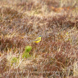 Keltavästäräkki (Motacilla flava) - Yellow Wagtail