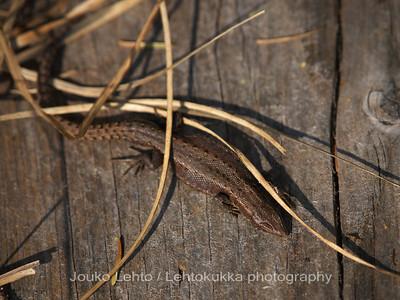Sisilisko (Zootoca vivipara) - Viviparous lizard