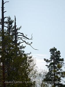 Käki (Cuculus canorus)- Common Cuckoo