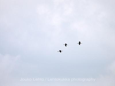 Kurki (Grus grus) -  Crane