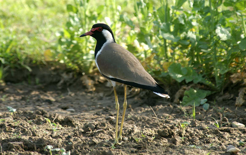 Red Wattled Lapwing - Did you do it!!