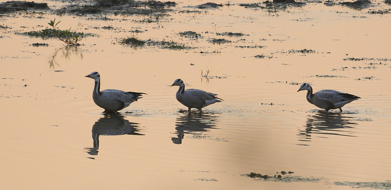 Geese Walk - Bar Headed Geese - Sunset Point.