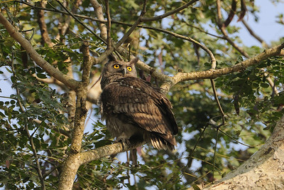Fishing owl - Later chased by crows.