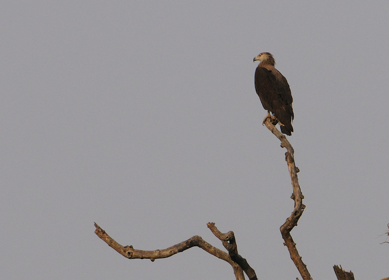 Pallas Fishing Eagle
