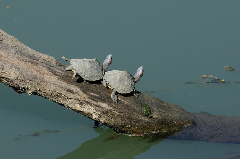 Don't  push me dude !!! Turtles Sun bathing .