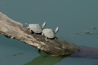 Don't  push me dude !!! Turtles Sun bathing .