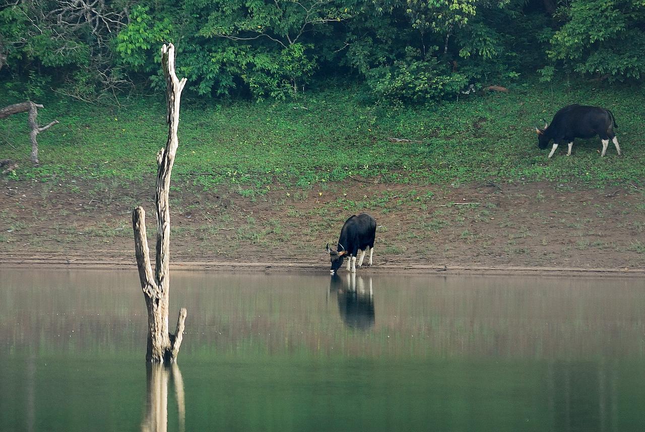 Gaur - The Indian Bison.