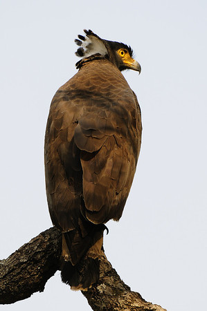 Crested Serpent Eagle, Bandhavgarh, March 2009