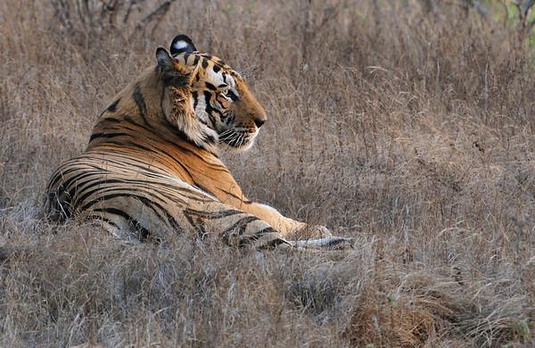 Tiger Trail - Bandhavgarh, Pench and Kanha