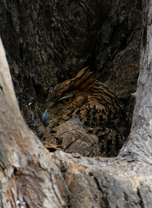 Brown Fish owl, Bandhavgarh, March 2009