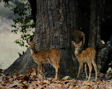 Spotted Deer Fawn. Bandhavgarh  March 2009