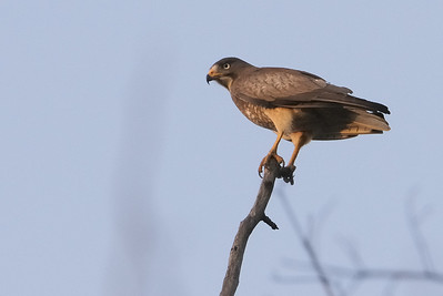 White Eyed Buzzard, Pench National Park M.P, April 2009