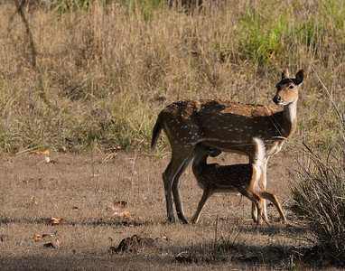 Spotted Deer nursing, Kanha, April 2009