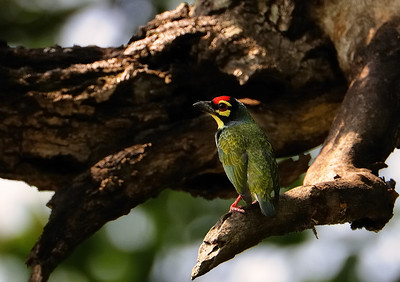 Copper Smith Barbet, Bandhavgarh, March 2009