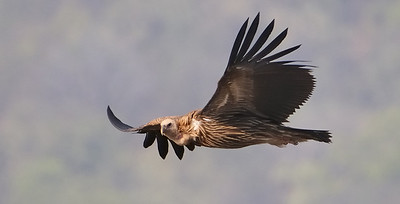 Long Billed Vulture