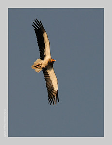 Egyptian Vulture, Bandhavgarh, March 2009