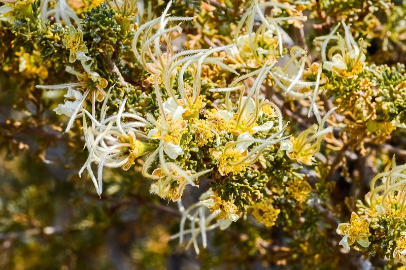 Mexican Cliffrose