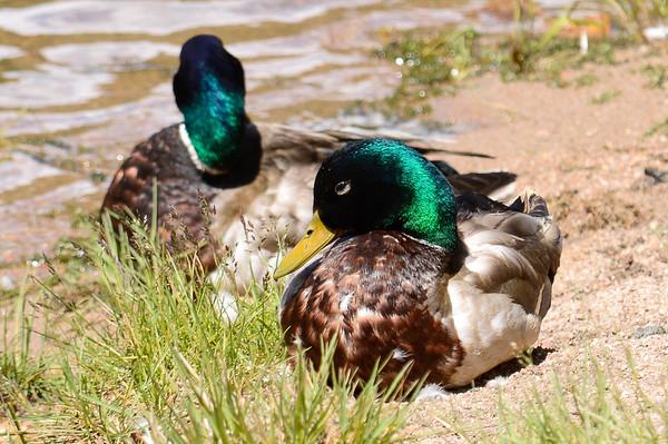 Mallards at Lily Lake