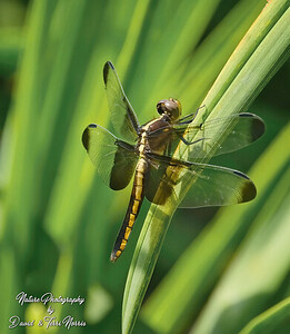 Widow Skimmer TLN15064