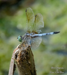 Blue Dasher TLN18530