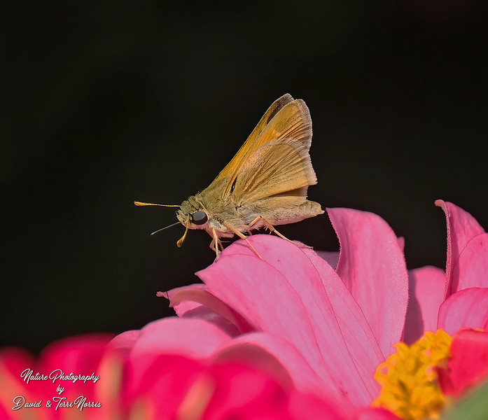 Tawny Edged Skipper TLN14362